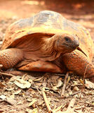 Crawling tortoise in the nature Royalty Free Stock Images
