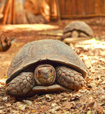 Crawling tortoise in the nature Stock Photos