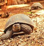 Crawling tortoise in the nature Royalty Free Stock Photography