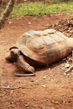 Crawling tortoise in the nature Royalty Free Stock Photo