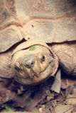 Crawling tortoise Royalty Free Stock Photo