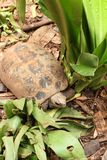 Crawling tortoise Royalty Free Stock Photography
