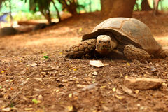 Crawling tortoise in the nature. Wild Stock Photography