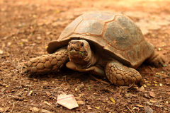 Crawling tortoise in the nature Stock Photo