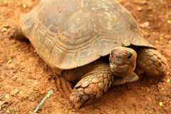 Crawling tortoise in the park Stock Photo