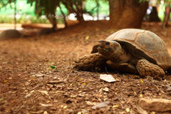 Crawling tortoise in the park Stock Images