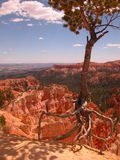 Crawling Tree. Portrait walking tree in Bryce Canyon Royalty Free Stock Image