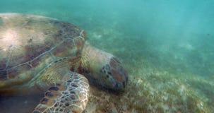 Crawling Turtle stock video
