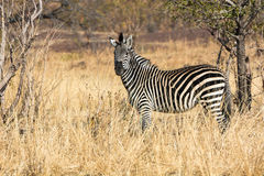 Crawshay's zebra Royalty Free Stock Image
