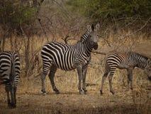 Crawshay's zebra. (Equus quagga crawshayi) in Zambia Stock Image