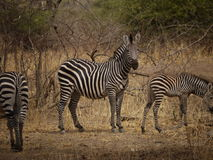 Crawshay's zebra Stock Image
