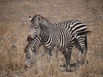 Crawshay's zebra. (Equus quagga crawshayi) in Zambia Royalty Free Stock Photos