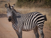 Crawshay's zebra Stock Photography