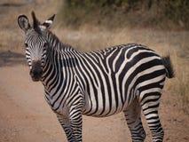 Crawshay's zebra. (Equus quagga crawshayi) in Zambia Stock Photography