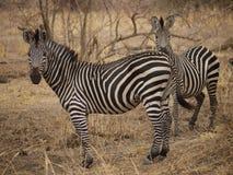 Crawshay's zebra. (Equus quagga crawshayi) in Zambia Royalty Free Stock Photography