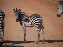 Crawshay's zebra. (Equus quagga crawshayi) in Zambia Royalty Free Stock Image
