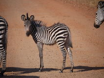 Crawshay's zebra Royalty Free Stock Image