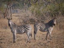 Crawshay's zebra. (Equus quagga crawshayi) in Zambia Royalty Free Stock Photo