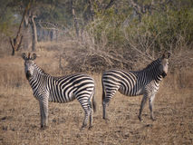 Crawshay's zebra Royalty Free Stock Photo