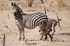 Crawshays Zebra und sein Fohlen Stockfoto
