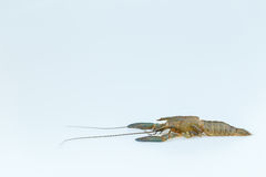 Cray fish moult. Royalty Free Stock Photos