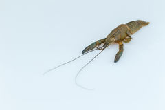 Cray fish moult. Royalty Free Stock Image