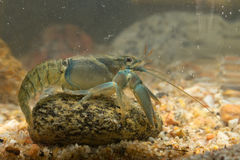 Crayfisch vasto-dalle dita europeo fotografia stock