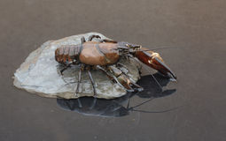 Crayfish сигнала, leniusculus Pacifastacus Стоковая Фотография RF