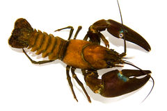 crayfish Fotografia Stock