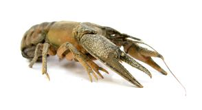 Crayfish. Astacus astacus, the European crayfish, noble crayfish or broad-fingered crayfish, is the most common species of crayfish in Europe, and a traditional Royalty Free Stock Photos