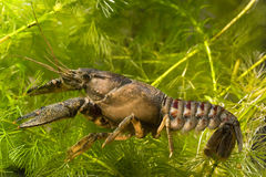 Crayfish Royalty Free Stock Image