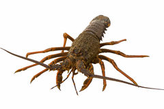 Crayfish Stock Photography