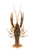 crayfish fotografia royalty free