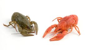 Crayfish. Red and gray crayfish against white background stock photo