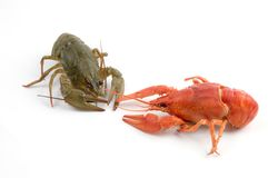 Crayfish. Red and gray crayfish against white background stock image