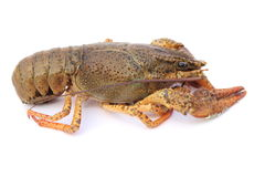crayfish obrazy stock