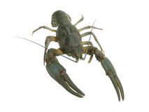 Crayfish Royalty Free Stock Photo
