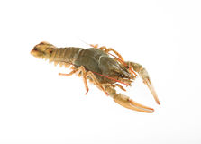 The  crayfish Royalty Free Stock Photo