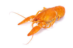 Crayfish Royalty Free Stock Images