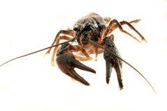 Crayfish Royalty Free Stock Photography
