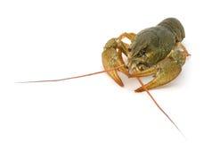 Crayfish Royalty Free Stock Images