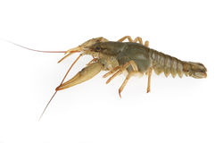 The crayfish Stock Photography