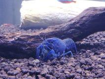 crayfish Zdjęcie Royalty Free