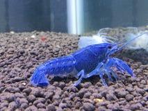 crayfish Obraz Stock