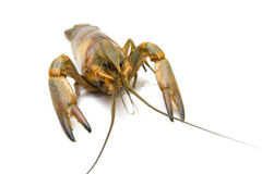 crayfish Obraz Royalty Free