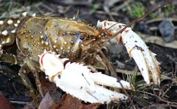 Crayfish. Also known as crawfish, crawdads, freshwater lobsters, mountain lobsters, mudbugs or yabbies, are freshwater crustaceans resembling small lobsters Stock Images