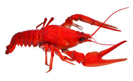 Crayfish animals Stock Photography