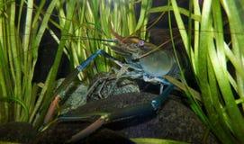 Crayfish. In the aquarium royalty free stock image