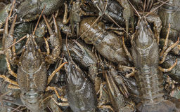 Crayfish as background Stock Images