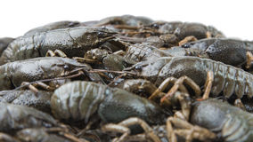 Crayfish as background Royalty Free Stock Photo